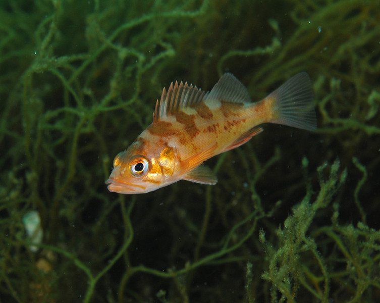 Rockfish - Copper rockfish, juvenile; photo by Scott Gietler