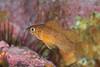 Rockfish - Kelp Rockfish, juvenile, Sebastes atrovirens; Santa cruz; Photo by Scott Gietler