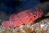 Scorpionfish - Rainbow scorpionfish, Catalina; photo by Kevin Lee