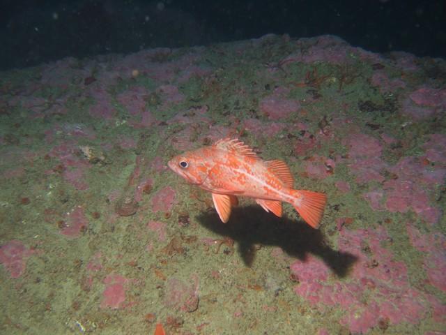 Rockfish - Canary Rockfish, Sebastes pinniger, La bufadora