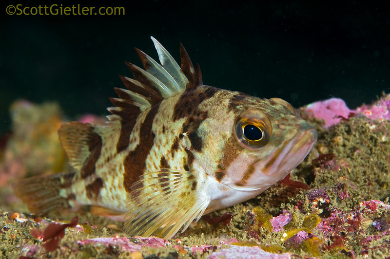 Rockfish - Calico Rockfish, Sebastes dallii; Palos Verdes; Photo by Scott Gietler