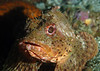Scorpionfish - California Scorpionfish, Scorpaena guttata; Catalina; Photo by Scott Gietler