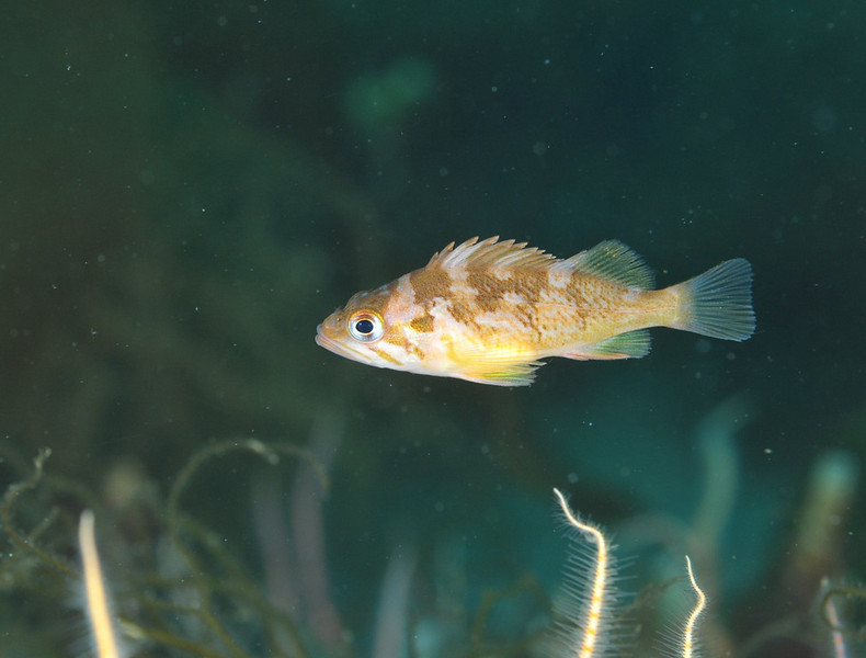 Rockfish - Gopher rockfish, juvenile; photo by Scott Gietler