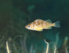 Rockfish - Gopher rockfish, juvenile; photo by Scott Gietler