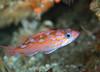 Rockfish - Rosy Rockfish, juvenile, Sebastes rosaceus; Santa cruz; Photo by Scott Gietler