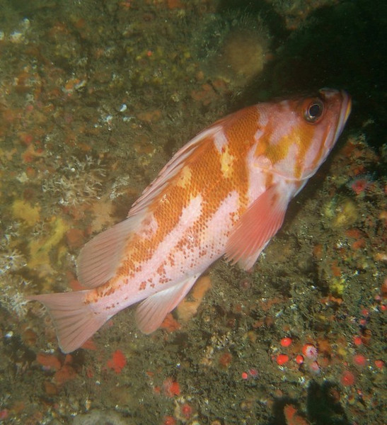 Rockfish - Copper rockfish, Sebastes caurinus; palos verdes; photo by Scott Gietler
