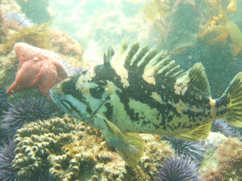 Rockfish - Black-and-yellow Rockfish, Sebastes chrysomelas
