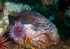 Rockfish - Blue Rockfish, Sebastes mystinus