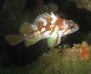 Rockfish - Gopher rockfish, Sebastes carnatus; palos verdes; photo by Scott Gietler