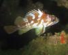 Rockfish - Gopher rockfish, Sebastes carnatus; palos verdes; photo by Scott Gietler