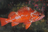 Rockfish - Vermillion Rockfish,Sebastes miniatus; photo by Scott Gietler
