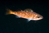 Rockfish - Bocaccio, juvenile, Sebastes paucispinis; redondo beach; photo by Scott Gietler