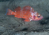 Rockfish - Vermillion Rockfish, Sebastes miniatus