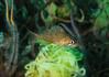 Rockfish - Kelp rockfish, juvenile; photo by Scott Gietler