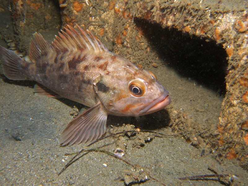 Rockfish - Brown rockfish, Sebastes auriculatus; photo by Scott Gietler