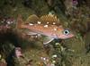 Rockfish - Honeycomb Rockfish, Sebastes umbrosus; Palos Verdes; photo by Scott Gietler