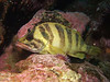 Rockfish - Treefish, Sebastes serriceps; Anacapa