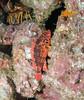 Scorpionfish - Rainbow Scorpionfish, Scorpaenodes xyris; san clemente; photo by Scott Gietler