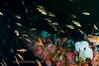 Rockfish - Squarespot Rockfish, Sebastes hopkinsi