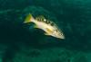 Rockfish - Olive Rockfish, Sebastes serranoides