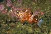 Rockfish - Vermillion Rockfish, juvenile, Sebastes miniatus; Palos Verdes; Photo by Scott Gietler