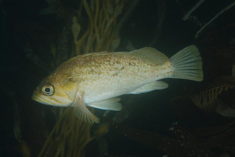 Rockfish - Kelp Rockfish, Sebastes atrovirens