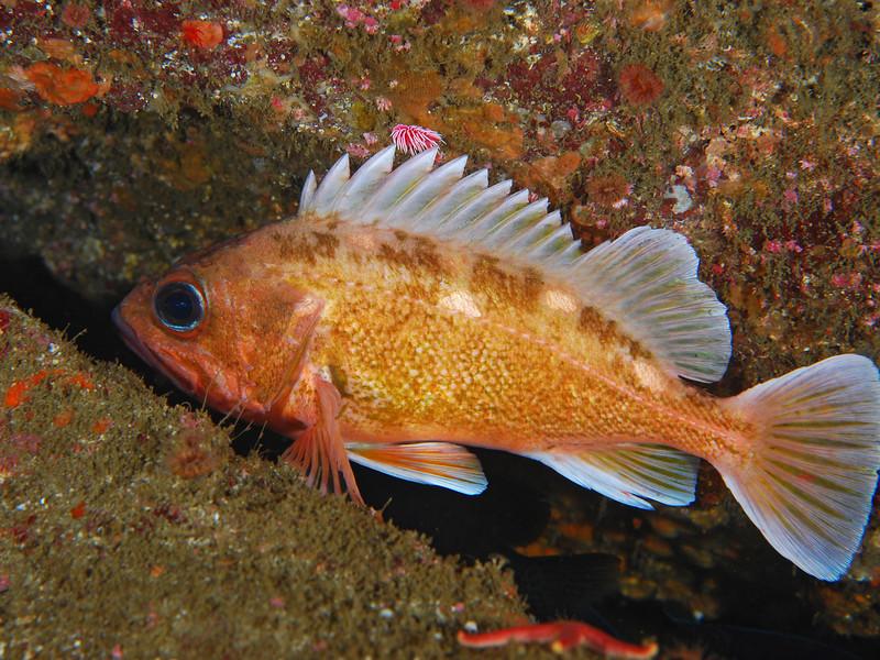 Rockfish - Honeycomb Rockfish, Sebastes umbrosus; Photo by Scott Gietler