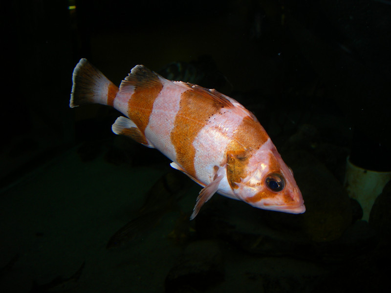Rockfish - Flag Rockfish, Sebastes rubrivinctus; found past 100ft; photo by Brianne Emhiser, in captivity