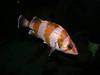 Rockfish - Flag Rockfish, Sebastes rubrivinctus; found past 100ft; photo by Brianne Emhiser, in captivity