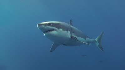 Sharks - Carcharodon carcharias, White Shark; rarely seen, never forgotten. Photo by Walter Marti