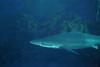 Sharks - Carcharhinus brachyurus, Bronze Whaler; photo by Linda Blanchard, San clemente