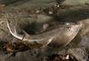Rays - Shovelnose Guitarfish (juvenile), Rhinobatos productus