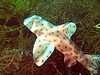 Sharks - Horn Shark, Heterodontus francisci