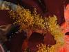 Hydroids - Orange Hydroid, Garveia annulata; Anacapa; photo by Scott Gietler