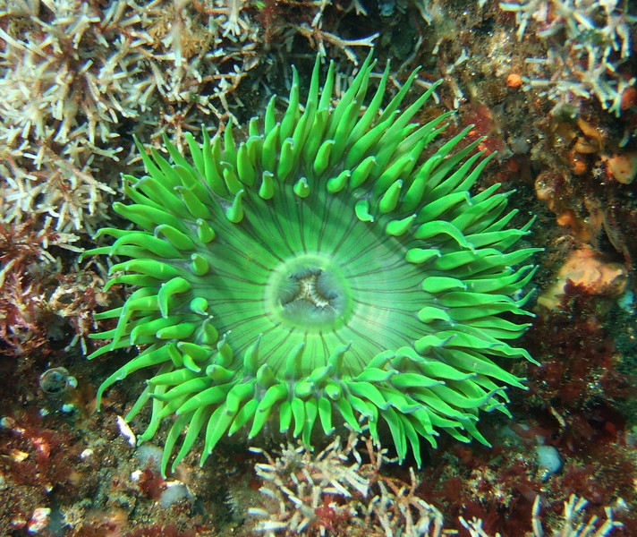 Anemones -  Anthopleura sola, Green Anemone
