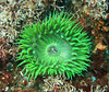 Anemones -  Anthopleura sola, Green Anemone
