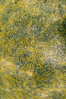 Anemones - Anthopleura elegantissima, Aggregating Anemone; marina del rey; photo by Scott Gietler
