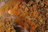 Corals - Astrangia lajollaensis, Colonial cup corals; photo by Scott Gietler