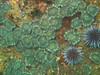 Anemones - Anthopleura elegantissima; Photo by Scott Gietler
