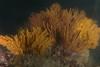 Gorgonians - Muricea californica, California Golden Gorgonian