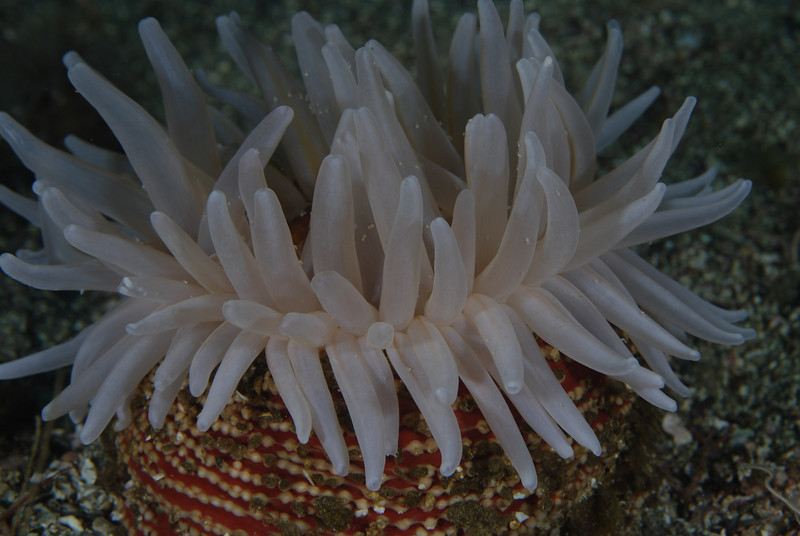 Anemones - Urticina columbiana, Sand Rose Anemone; Santa cruz; Photo by Scott Gietler
