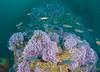 Hydrocorals - Purple Hydrocoral, Stylaster californicus; Photo by Scott Gietler