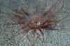Anemones - Cerianthid anemone, species unknown; photo by Scott Gietler