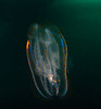 Comb Jelly, Leucothea pulchra; OC Oil Rigs; photo by Scott Gietler