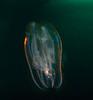 Comb Jelly, Leucothea pulchra; OC Oil Rigs; photo by Scott Gietler