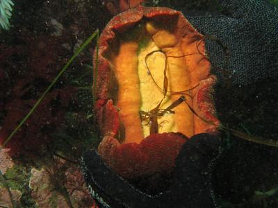 Chitons - Cryptochiton stelleri (Gumboot Chiton) (underside); photo by Dana Rodda