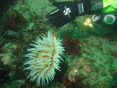 Anemones - Urticina piscivora (Fish-Eating Urticina); photo by Dana Rodda