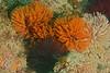 Polychaetes - Eudistylia polymorpha, Featherduster worms
