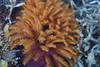 Polychaetes - Eudistylia polymorpha, Featherduster worm