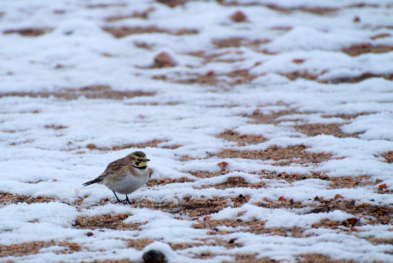 Little Horned Lark in the Snow